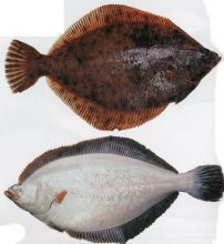 Камбала с головой белобрюхая тушка 300-400 гр Мурманск от 11 кг